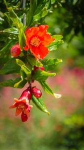 Future pomegranates.