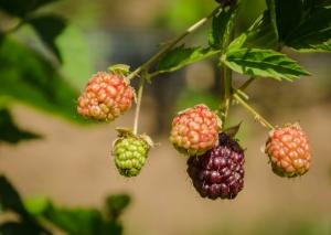 Hooray for blackberries!