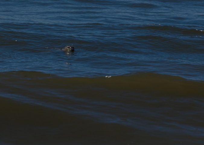 Use your imagination and you can see a seal in the wild swimming along the beach.