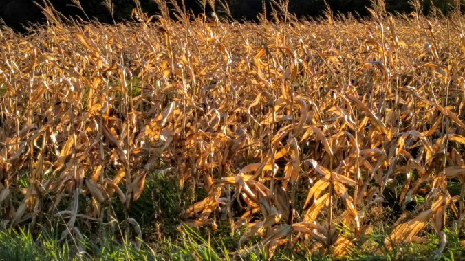 There are corn fields everywhere in the midweat!